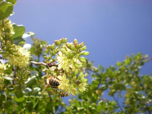 abeillebutinant_972-foucan-perafide-benoit.jpg