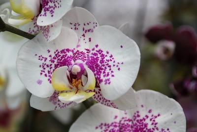 fontainecoralieadele_orchidee-ile-reunion-011.jpg