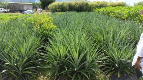 plantationdananas_972-plantation-d-ananas.jpg