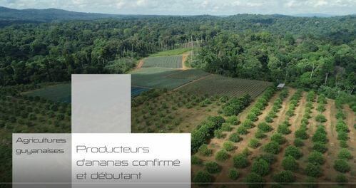transagridomvideoagriculturesguyanaisespro_image-producteurs-d-ananas.jpg