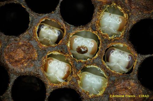 varroa13_af104-varroa-destructor-antoine-franck-cirad-13.jpeg