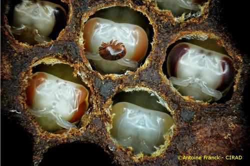 varroa14_af104-varroa-destructor-antoine-franck-cirad-14.jpg