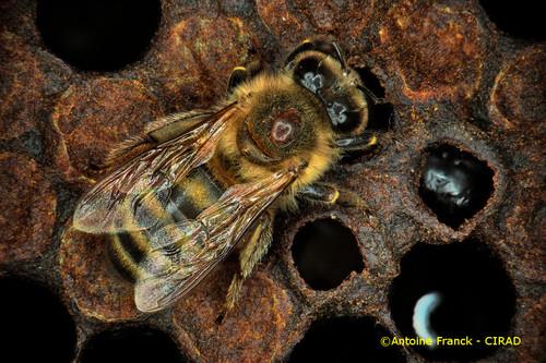 varroa1_af104-varroa-destructor-antoine-franck-cirad-1.jpeg
