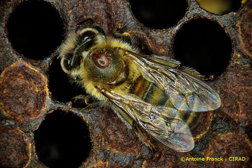 varroa2_af104-varroa-destructor-antoine-franck-cirad-2.jpeg
