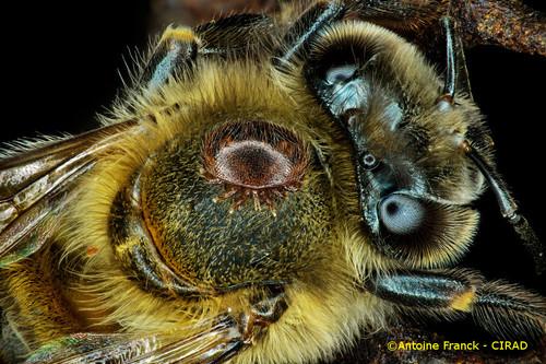 varroa4_af104-varroa-destructor-antoine-franck-cirad-4.jpeg