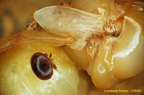 varroa8_af104-varroa-destructor-antoine-franck-cirad-8.jpeg