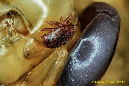 varroa9_af104-varroa-destructor-antoine-franck-cirad-9.jpeg